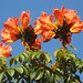 African Tulip Tree - Photo (c) mauroguanandi, some rights reserved (CC BY)