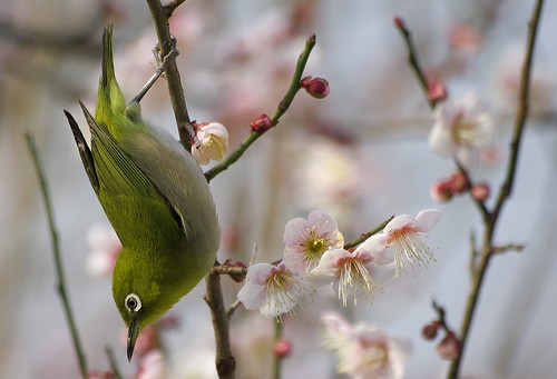メジロ:Japanese white-eye