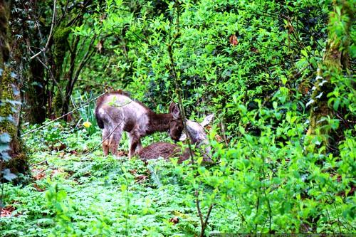 deer having breakfast in our backyard    MG 1137