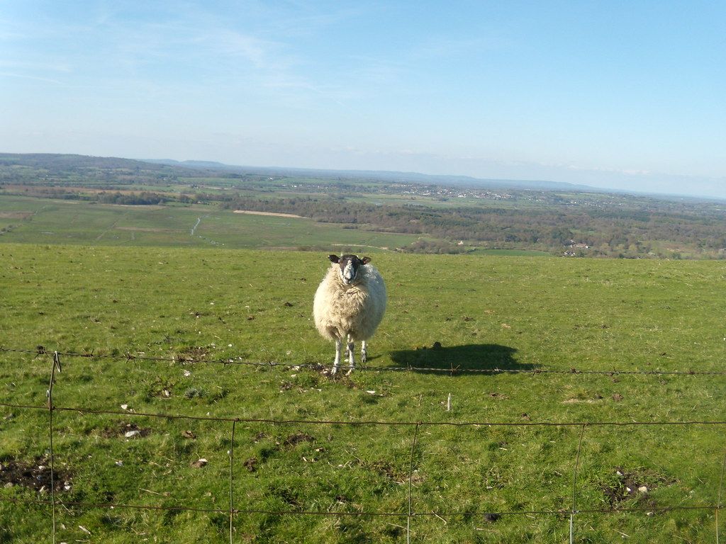 Obligatory sheep Pulborough to Amberley