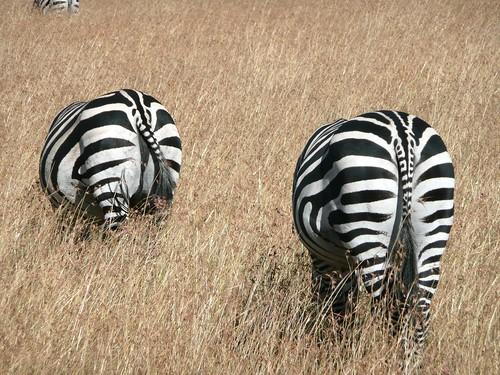 Zebras hiding