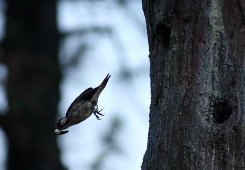 birds texas birdsinflight woodpeckers redcockadedwoodpecker picoidesborealis jonesstateforest