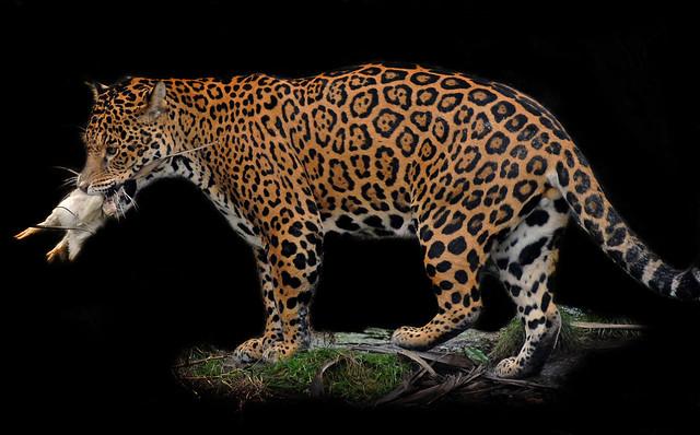 Jaguar eating a chicken