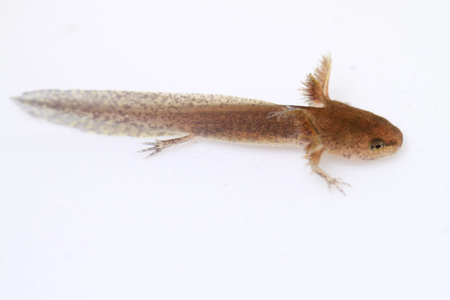Header of Ambystoma