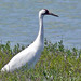 Whooping Crane - Photo (c) Larry Meade, some rights reserved (CC BY-NC-SA)