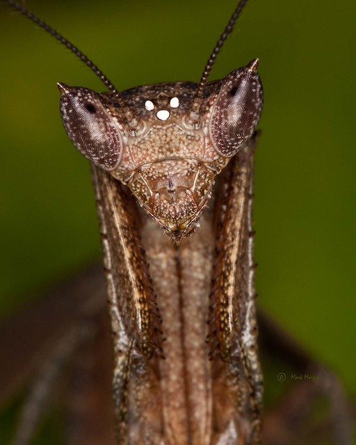 0497 Mantis Close-up II