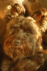 dog breed, animal, dog, schnoodle, pet, australian silky terrier, norfolk terrier, glen of imaal terrier, mammal, norwich terrier, yorkshire terrier, terrier,