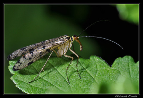 Panorpa communis (mouche scorpion)