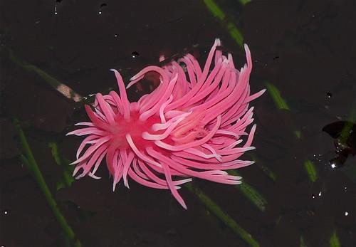 Hopkinsia rosacea (cc) Jerry Kirkhart @ Flickr.com