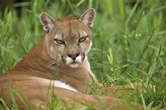 Puma (sleepy beauty)
