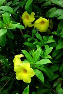 yellow flower, beautiful garden at জাতীয় স্মৃতি সৌধ Jatiyo Smriti Soudho Independence memorial park, Savar, Dhania, Dhaka, Bangladesh