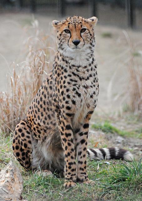 Cheetah (Acinonyx jubatus) Seated