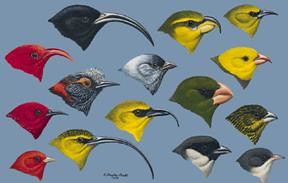 Radiation of some of the birds historically present in Hawaii