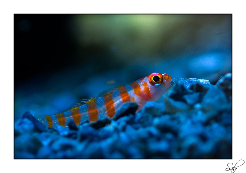 Nano fish suggestions reef central online community for Community fish list