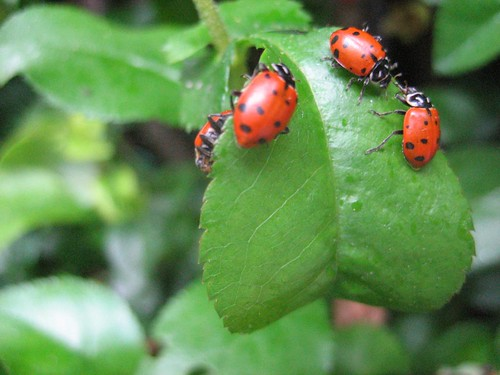 pics of ladybugs eating aphids. Black Bedroom Furniture Sets. Home Design Ideas