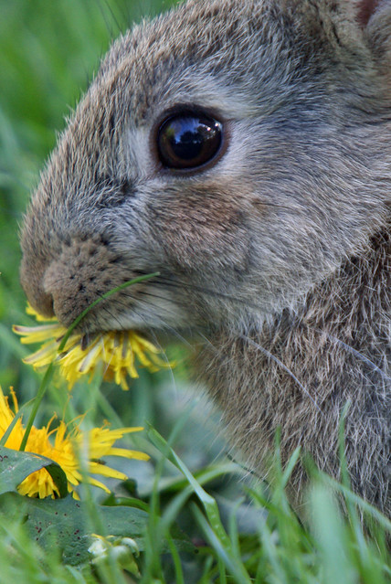 young wild rabbit eating dandelion flower  leighton moss