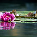 Waterlily_purple