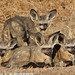 Bat-eared Fox huddle for warmth IMG_3039