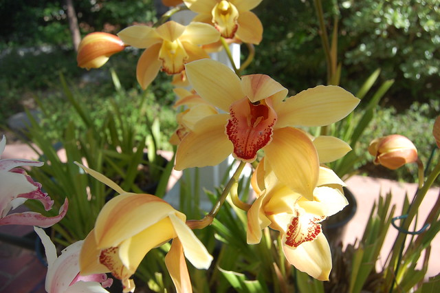 Cymbidium Orchids - May 2, 2010