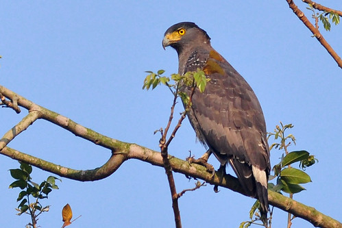 Crested Serpent Eagle by Thouhidur Rahman