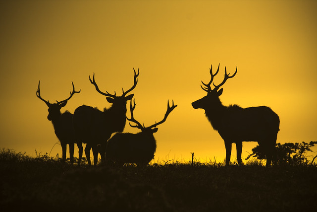 "Tule Elk Sunset Silhouette ""Point Reyes"" by Josh Merrill Photography"
