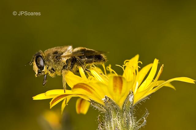 Fly (Eristalis tenax, femea)