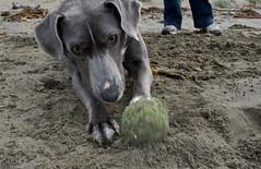 puppy(0.0), sports(0.0), pointer(0.0), animal sports(1.0), animal(1.0), dog(1.0), pet(1.0), mammal(1.0), greyhound(1.0), weimaraner(1.0),