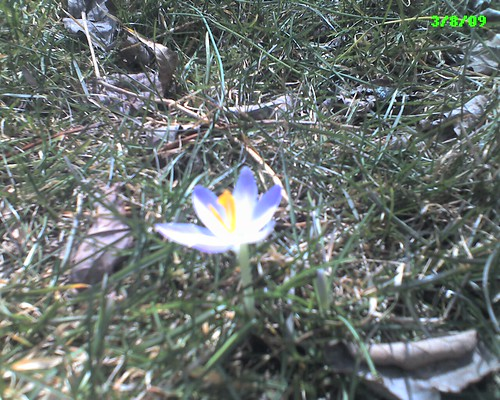 First crocus of the spring