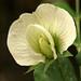 Sugar Snap Pea Flower by philipbouchard