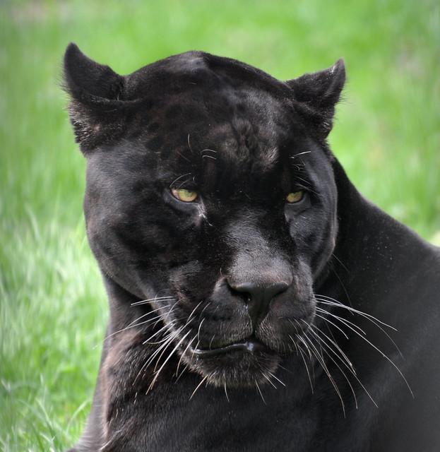 Black Panther Melanistic Jaguar Panthera Onca Niabi