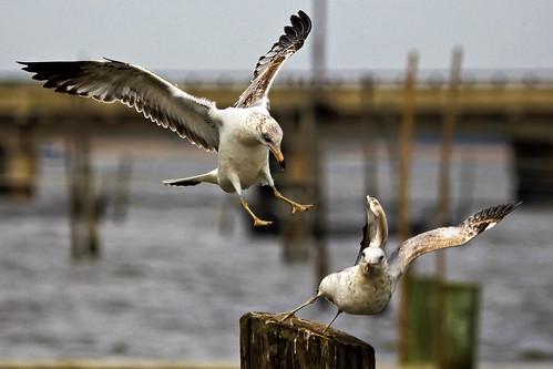 bird seagull maryland explore chestertown larusdelawarensis chesterriver kentcounty canonef100400mmf4556lisusm mywinners