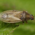 rétibodobács - Cymus glandicolor