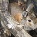 Small photo of Lustful Rabbit