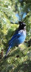 peafowl(0.0), animal(1.0), nature(1.0), fauna(1.0), blue jay(1.0), bird(1.0), wildlife(1.0),