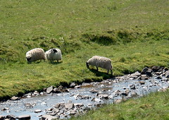 Sheep by a Stream
