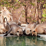 Langurs Pashan Garh swimming pool