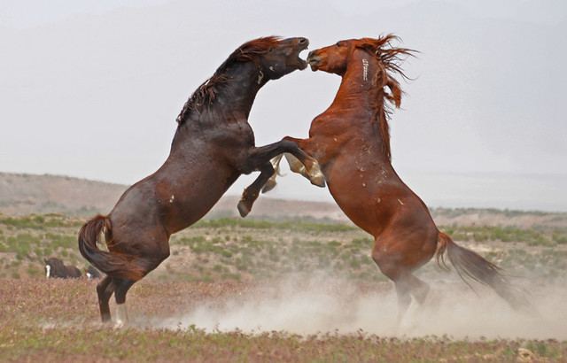 """single men in wild horse Long considered a symbol of the frontier, wild horses have roamed the west for   of the two-man team that pickens affectionately refers to as her """"marlboro men   utah, home to the delta wild horse and burro facility, one of the blm's 16."""