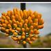 agave flower by diana cornea