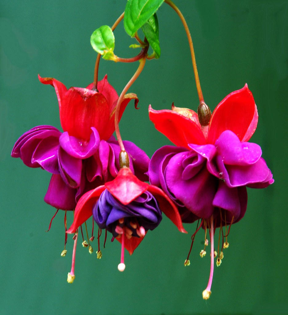 Photo: Fuchsia (general)