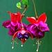 Photo: Fuchsia (general)