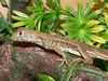 "<a href=""http://www.flickr.com/photos/thereptilarium/5719619922/"">Photo of Leiolepis belliana by TheReptilarium</a>"