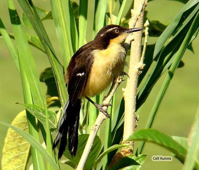 Donacobius atricapillus ( Japacanim ou Sabiá-do-brejo ou Assobia-cachorro ou Pássaro-angu ) - Black-capped Donacobius - 12999