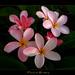 A Plumeria Seedling by mad plumerian