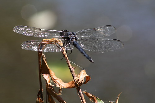 camping lake closeup insect nc shiny dragonfly bokeh northcarolina blackmountain koa buncombecounty davidhopkinsphotography