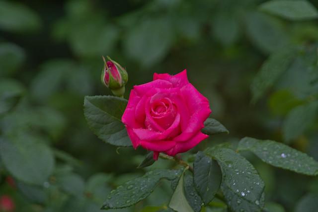 2010 Spring Rose