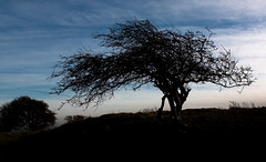 Ditchling tree, Winter