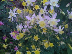 shrub(1.0), flower(1.0), yellow(1.0), colorado blue columbine(1.0), plant(1.0), wildflower(1.0), flora(1.0),