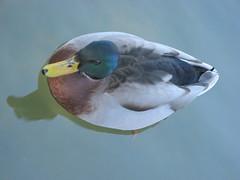 animal, water bird, duck, wing, fauna, close-up, mallard, beak, bird,