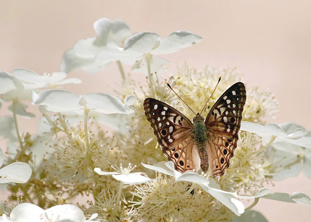 Hackberry Emperor by Ken Slade, on Flickr.