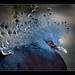 Western Crowned Pigeon (Goura cristata, Krontaube) by guenterleitenbauer